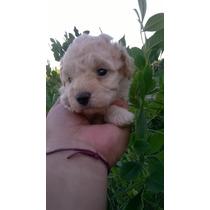 Ultimo Cachorro Caniche Mini Toy Apricot Te Con Leche