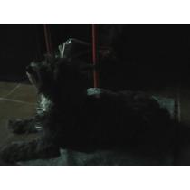Perro Caniche