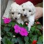 Los Caniches Toy Mini Mini Blancos Que Soñas !!!