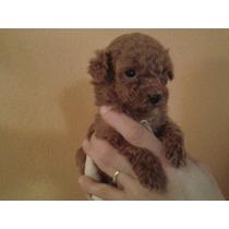 Hermoso Cachorro De Caniche Rojo Micro Toy!!!