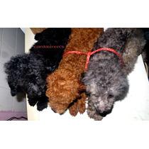 Caniche Toy Machos Negro, Gris,un Año 4 Meses Fotos 24/10,