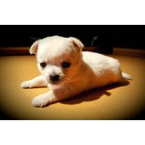 Cachorros Chihuahua Con Papeles De Fca