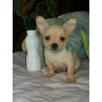 Chihuahuas Hermosos Minis! Fca