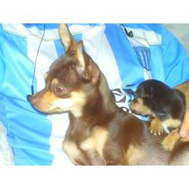 Chihuahua Macho Ofrece Servicio