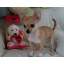 Chihuahua Hembrita Mini Un Lujo!fca