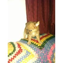 Chihuahua Machito Pelo Largo