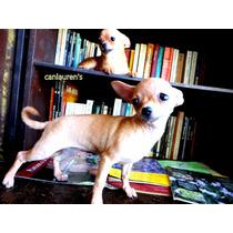 Chihuahua Mini Hembra 7 Meses