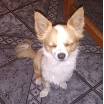 Servicio De Monta De Chihuahua Mini Pelo Largo