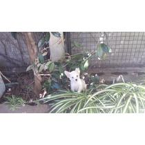Chihuahua Macho Blanco Pelo Largo