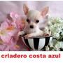 Chihuahua Mini De Bolsillo ,,criadero Costa Azul .