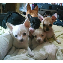 Chihuahuas Minis Machitos Lo Mas Lindos!fca
