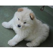 Cachorro Chow Chow Color Blanco/crema. Hago Envíos!