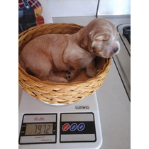 Cachorrito Cocker Dorado (¡¡ultimo Disponible!!)