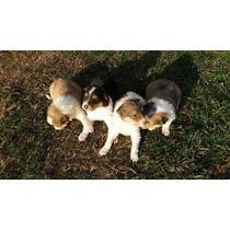 Collie Rough Cachorros
