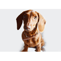 Cachorros Dachshund Salchichas Mini