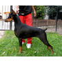 Dobermann Macho Pedigree F.c.a.