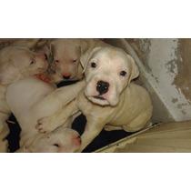 Dogos Cachorro Argentino