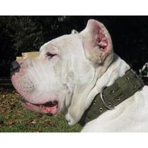 Dogo Argentino Criadero Atucha Servicio De Stud De Baron
