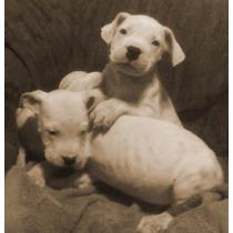 Dogo Argentino,cachorros Excelente Pedigree.pitbull No...