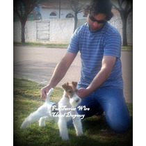 Cachorros Fox Terrier Wire Con Pedigri Can Club Argentino