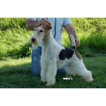 Fox Terrier Wire, Cachorros Para Entendidos Con Fca