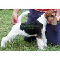 Fox Terrier Wire Macho De Tres Años