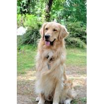 Golden Retriever Puro P/ Servicio