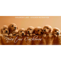 Cachorros Golden Retriever - F.c.a. - Goldens Lake