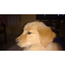 Cachorros Golden Retrievers Con Linaje Roque Feler