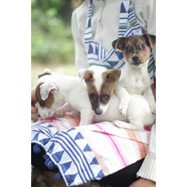 Cachorros Jack Russell Terrier, Con Papeles.