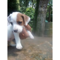 Cachorras Jack Russell Terrier Con F.c.a