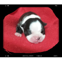 Boston Terrier Cachorritos Impecables Con Ped/fca