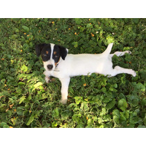 Jack Russell Terrier Excelentes Machitos