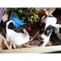 Bebitos Jack Russell Terrier, Listos Para Entregar!