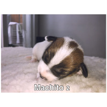 Cachorros Jack Russell Terrier Excelentes Nacidos 19/04