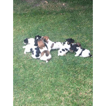 Cachorros Jack Russell Solo 3 Machitos Hoy !!!!!!!!!!!