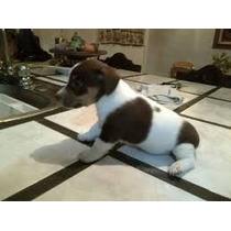 Cachorros De Excelencia Jack Russell