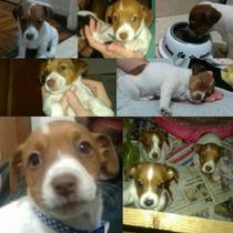Cachorros Jack Russell Del Criadero Love Jack´s