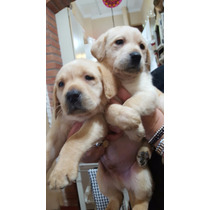 Hermosos Cachorros De Labrador