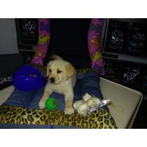 Cachorro Labrador Criadero Del Goliardo