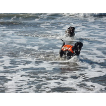 Cachorros Labrador Negro Linea Trabajo Padres Rescatistas