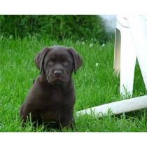 Cachorros Labrador Chocolates Excelencia Al 100%