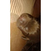Vendo Cachorros Labradores Chocolates Puros Padres A La Vist
