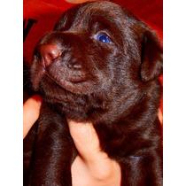 Cachorros De Labrador Chocolates Calquin