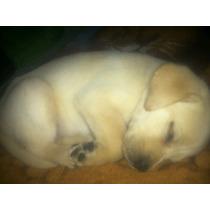 Vendo Cachorrita Labrador