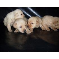Cachorros De Labrador Nacieron 03-04-16