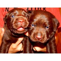 Cachorros Labradores Chocolates Calquin