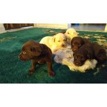 Cachorros Labrador 100% Chocolate, Nacidos 25/02