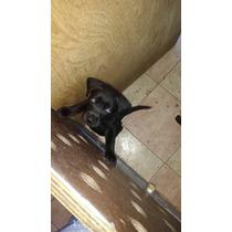 Labradores Negros. Vacunados Y Desparacitados