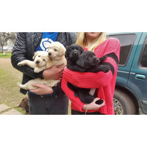 Cachorros De Labradores